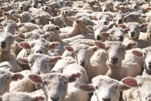 Sheep pox and goat pox - Epizone
